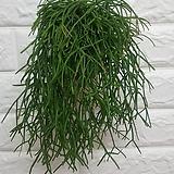 립살리스 폭스테일 / 공기정화식물 미세먼지식물|