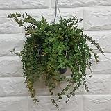 밀리언하트 행잉 / 공기정화식물 미세먼지식물|