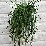 립살리스 레인 / 공기정화식물 미세먼지식물|