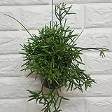 립살리스 캣 / 공기정화식물 행잉 미세먼지식물|