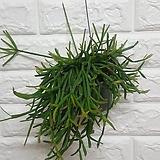 립살리스 세레우스쿨라 / 공기정화식물 행잉 미세먼지식물|