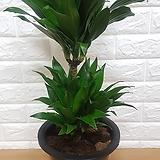 콤펙타 (2단 소형) / 공기정화식물 귀족식물|