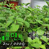 애플민트 허브모종 2개(1000원) 서울육묘생산 정품모종 (단일품목 구매시 5천원 이상 배송가능)|