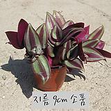 제브리나 (자주달개비 Zebrina pendula) 지름 9cm 소품화분 (단일품목 구매시 5천원 이상 배송가능)|