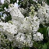 르모앙 라일락나무♥유럽직수입♥화이트 라일락 꽃|Echeveria cv Peale von Nurnberg