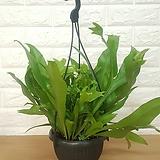 아비스 고사리 걸이 / 공기정화식물|