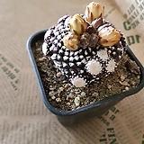 [NEW]코피아포아(HA)|Echinocereus rigidissimus Purpleus