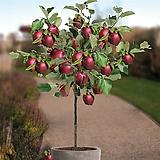 신품종 루비에스 No.1♥미니사과♥당도높은 왜성 사과나무♥화분째 배송♥미니 사과 애기사과|