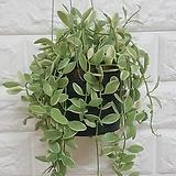 디시디아 화이트 화분 / 공기정화식물|