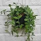 디시디아 그린 화분 / 공기정화식물|