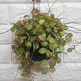 디시디아 멜론 화분 / 공기정화식물|