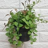 디시디아 애플 화분 / 공기정화식물|