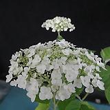 아나벨수국(흰꽃)-15센티포트
