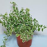 푸미라 - 공기정화식물