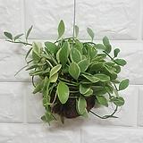 디시디아 화이트볼 / 공기정화식물