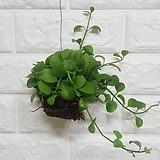 디시디아 그린볼 / 공기정화식물