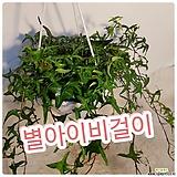 별아이비걸이(늘어진모습이 예쁜아이에요)