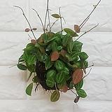 디시디아 멜론볼 / 공기정화식물|