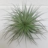 코튼캔디 (중) / 공기정화식물|