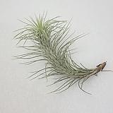 푼키아나 / 공기정화식물|