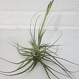 칼리신스 / 공기정화식물|