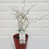 마오리 소포라 (소형) / 공기정화식물