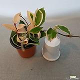 Hoya carnosa(늘어지면서자라는아이)