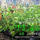 핫립세이지(Hotlip Sage) 허브모종 700원(단독주문시 10세트이상주문가능)|Hub
