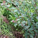 섬 개 야광나무|