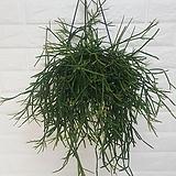 립살리스 세레우스쿨라 (중대형) / 공기정화식물|
