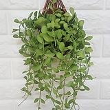 복조리 디시디아 그린 / 공기정화식물 인테리어|