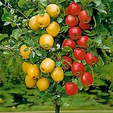 칵테일 애플트리♥멀티컬러(레드+옐로우)자가수정 외목수형♥한나무에 두가지 색상 열매열려요~|