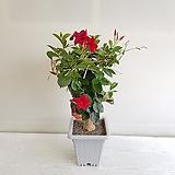 만데빌라/꽃/공기정화식물/인테리어/반려식물