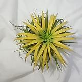 드루이드 틸란드시아 / 공기정화식물|Tillandsia