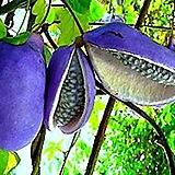 자가수정 아케비아♥수입품종♥붉은꽃 으름나무♥홍화|