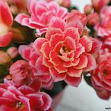 미니로즈칼란디바선인장 겹꽃-색다르게5개묶음