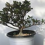 철쭉분재  각엽진산 12 년산 간직경 12 mm 이상|