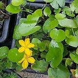노랑어리연수생식물/수경식물