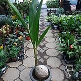 코코넛야자/코크스야자/너무나멋스러운나무/높이125센치