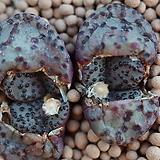 코노피튬 일반종 홍문 씨앗 5립 (CS22)