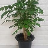 녹보수 (중품) / 공기정화식물|happy tree