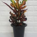 바나나크로톤 (중소품) / 공기정화식물|Codiaeum Variegatum Blume Var Hookerianum
