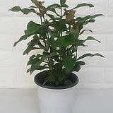 익소라 (중소품) / 공기정화식물|