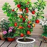 자가수정 멀티칵테일 애플트리♥외목수형♥알프스오토메+루비에스+아리수♥한나무에 세품종 열매열려요|