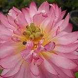 연(미니연)-홑꽃과 겹꽃을 구분할 수 없습니다|