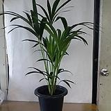 겐자야자나무/귀하고귀한겐자야자/탁월한 공기정화식물/높이105센치