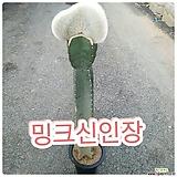 밍크선밍크신인장(고급진 아이에요) 높이 120-125|