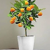 열매맺힌 레드향 오렌지♥시트러스♥맛도 향도 좋아요~
