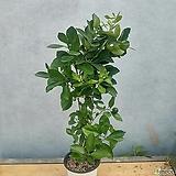 유주나무(중품)