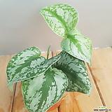 엔젤스킨(잎이 독특해요)뿌리가 화분밑으로 나오고 있어요(높이18-20)